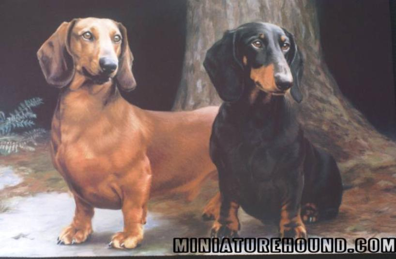 Mini Dachshund Puppies For Sale Isabella,Doxie Breeder long